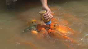 El pescado hambriento come la comida de la botella muchos pescados en la charca Pescados de alimentación de la muchacha almacen de video
