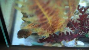 El pescado nada en un acuario casero almacen de video