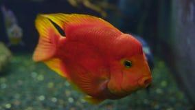 El pescado rojo hermoso nada en el acuario de cristal metrajes