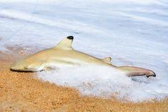El pescador cogió el tiburón en la playa con la onda blanca de la espuma en el mar Tiburón en la caña de pescar con el tiburón y  Imágenes de archivo libres de regalías