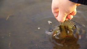 El pescador cogió la perca y la lanza nuevamente dentro del lago almacen de metraje de vídeo