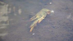 El pescador cogió los cangrejos y los lanza nuevamente dentro del río metrajes