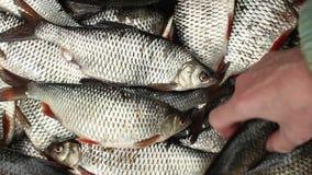 El pescador está cambiando los pescados vivos almacen de metraje de vídeo