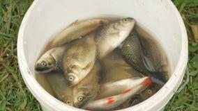 El pescador saca pescados del cubo para limpiar Tamaño pequeño, preparación para un plato delicioso almacen de metraje de vídeo