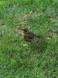 El petirrojo americano en la hierba foto de archivo