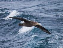El petrel septentrional gigante vuela sobre el océano cerca de Falkland Islands Imagen de archivo