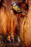 El pezón azul en polluelos de las cavidades cuenta cuidado parental del descendiente Foto de archivo libre de regalías