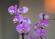 El Phalaenopsis de la orquídea, polilla exótica del phalaenopsis del pétalo de la botánica florece en el fondo borroso Foto de archivo