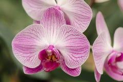 El Phalaenopsis en jardín botánico Foto de archivo libre de regalías
