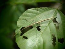 El Phasmida, saltamontes prendido estaba hoja verde comida en el grang de Baan, imagen de archivo libre de regalías