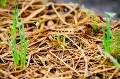El pico de la cebolla verde va en la tierra imagen de archivo libre de regalías