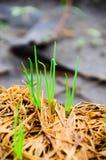 El pico de la cebolla verde va en la tierra fotos de archivo libres de regalías