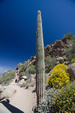 El pico solo gigante del pináculo del marco del Saguaro y del brittlebush se arrastra Fotografía de archivo