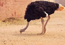 El picotear de la avestruz Imagen de archivo libre de regalías
