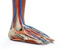 El pie humano Muscles la anatomía Imagen de archivo libre de regalías