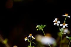 El pilosa del Bidens es una planta bienal en el fondo negro Imágenes de archivo libres de regalías