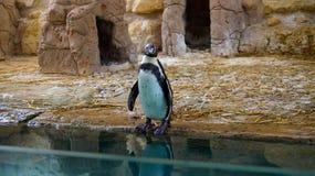 El pingüino Imágenes de archivo libres de regalías