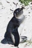 El pingüino africano en los cantos rodados sea Fotografía de archivo