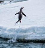 El pingüino de Gentoo salta del agua sobre tierra Imagenes de archivo