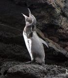 El pingüino de las Islas Gal3apagos dice en voz alta Fotografía de archivo