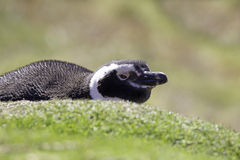 El pingüino de Magellanic que miente afuera él es madriguera Falkland Islands Imagen de archivo