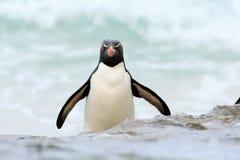 El pingüino de Rockhopper, chrysocome del Eudyptes, salta del agua azul mientras que nada a través del océano en Falkland Island Fotografía de archivo