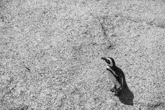 El pingüino en los cantos rodados vara en Simonstown en blanco y negro Fotos de archivo libres de regalías