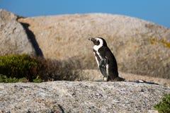 El pingüino en los cantos rodados vara Suráfrica imagen de archivo libre de regalías