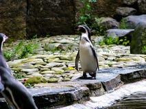 El pingüino mira alrededor Pingüino derecho hermoso solo fotos de archivo libres de regalías