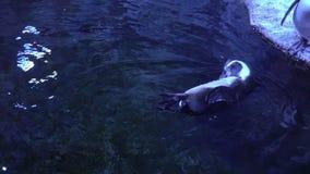 El pingüino rasguña su vientre Pingüinos en el acuario metrajes