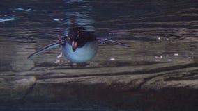 El pinguin joven del rockhopper nada bajo el agua en la piscina en Berlin Zoo, Alemania del acuario almacen de video