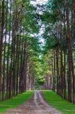 El pino arrastra el parque Fotos de archivo