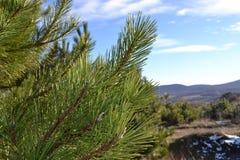 El pino CrimeanPine crimeo del pino escocés es muy de largo 18-20 ne marcado diverso del cm, mullidos y curvado algo, verde oscur Fotografía de archivo