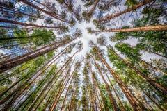 El pino de los árboles en fondo del cielo en día soleado del verano Foto de archivo libre de regalías