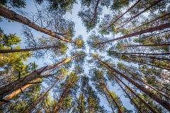 El pino de los árboles en fondo del cielo en día soleado del verano Imagen de archivo
