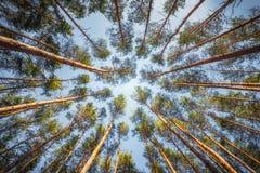 El pino de los árboles en fondo del cielo en día soleado del verano Imagenes de archivo