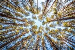 El pino de los árboles en fondo del cielo en día soleado del verano Fotografía de archivo libre de regalías