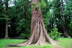 El pino escocés Foto de archivo