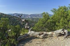 El pino marchitado caido de la reliquia en las montañas crimeas Imágenes de archivo libres de regalías