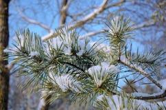 El pino nevado ramifica en un fondo del cielo azul foto de archivo libre de regalías