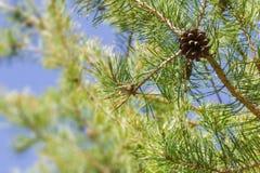 El pino ramifica con el cono en rayos de oro calientes del sol CCB caliente de la primavera Foto de archivo libre de regalías