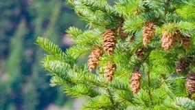 El pino ramifica con los conos, agitando en el viento bajo en un día claro almacen de video