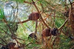 El pino ramifica con los conos y las agujas del pino contra el cielo Fotografía de archivo