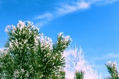 El pino ramifica en la nieve contra el cielo azul Foto de archivo libre de regalías