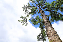 El pino ramifica, madera de pino del árbol de pino, árbol de hoja perenne Fotos de archivo libres de regalías