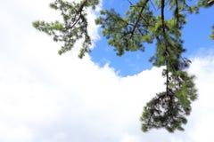 El pino ramifica, madera de pino del árbol de pino, árbol de hoja perenne Imagenes de archivo