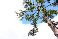 El pino ramifica, madera de pino del árbol de pino, árbol de hoja perenne Foto de archivo libre de regalías