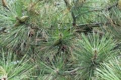 El pino ramifica porción de agujas Macro del árbol del Año Nuevo Fotografía de archivo