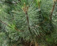 El pino ramifica porción de agujas Macro del árbol del Año Nuevo Foto de archivo