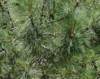 El pino ramifica porción de agujas Macro del árbol del Año Nuevo Fotos de archivo